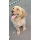 Cachorros Golden Retriver Abuelos Pedigree