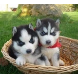 Husky Siberiano Puros Padres De Pedigree