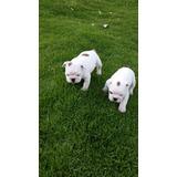 Lindos Bulldog Ingles Padres De Pedigree
