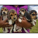 Beagle Tricolor En Venta