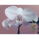 Orquídeas Phalaenopsis  En Floracion Diferentes Colores