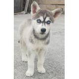 Cachorros Husky Siberiano 100% Puros