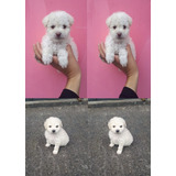 Lindos French Poodle Mini Toy Tacita De Te