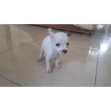 Vendo Chihuahua Mini Blanco De Pedigree