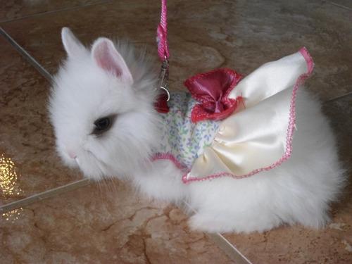 Conejos enanos leoncitos teddy de un mes de edad en venta - Casas para conejos enanos ...